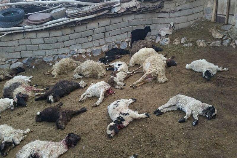 خبرنگاران گرگ ها 15 راس گوسفند را در نمین دریدند
