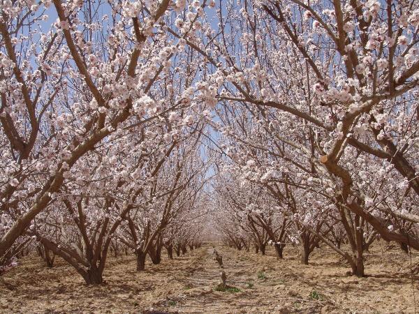 خبرنگاران تعدادی درختان میوه در ابرکوه به شکوفه نشست